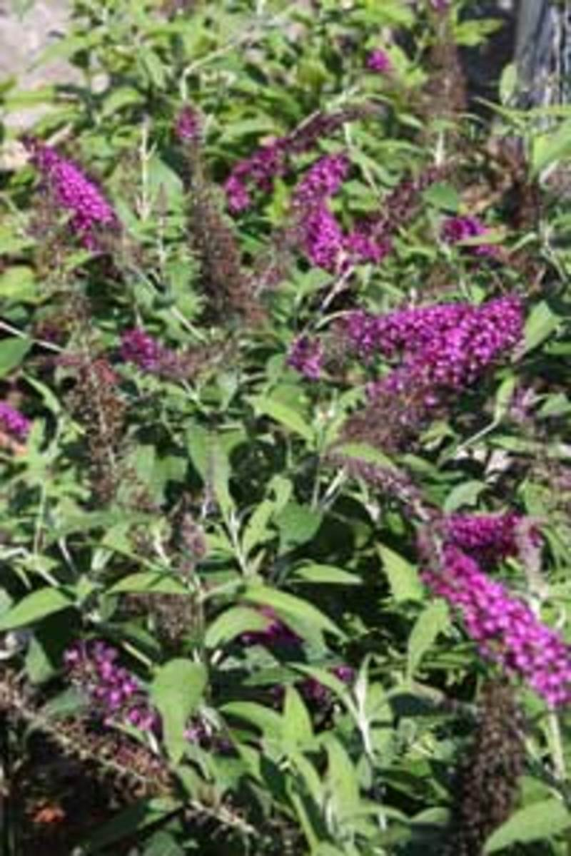 When To Prune Butterfly Bushes Horticulture
