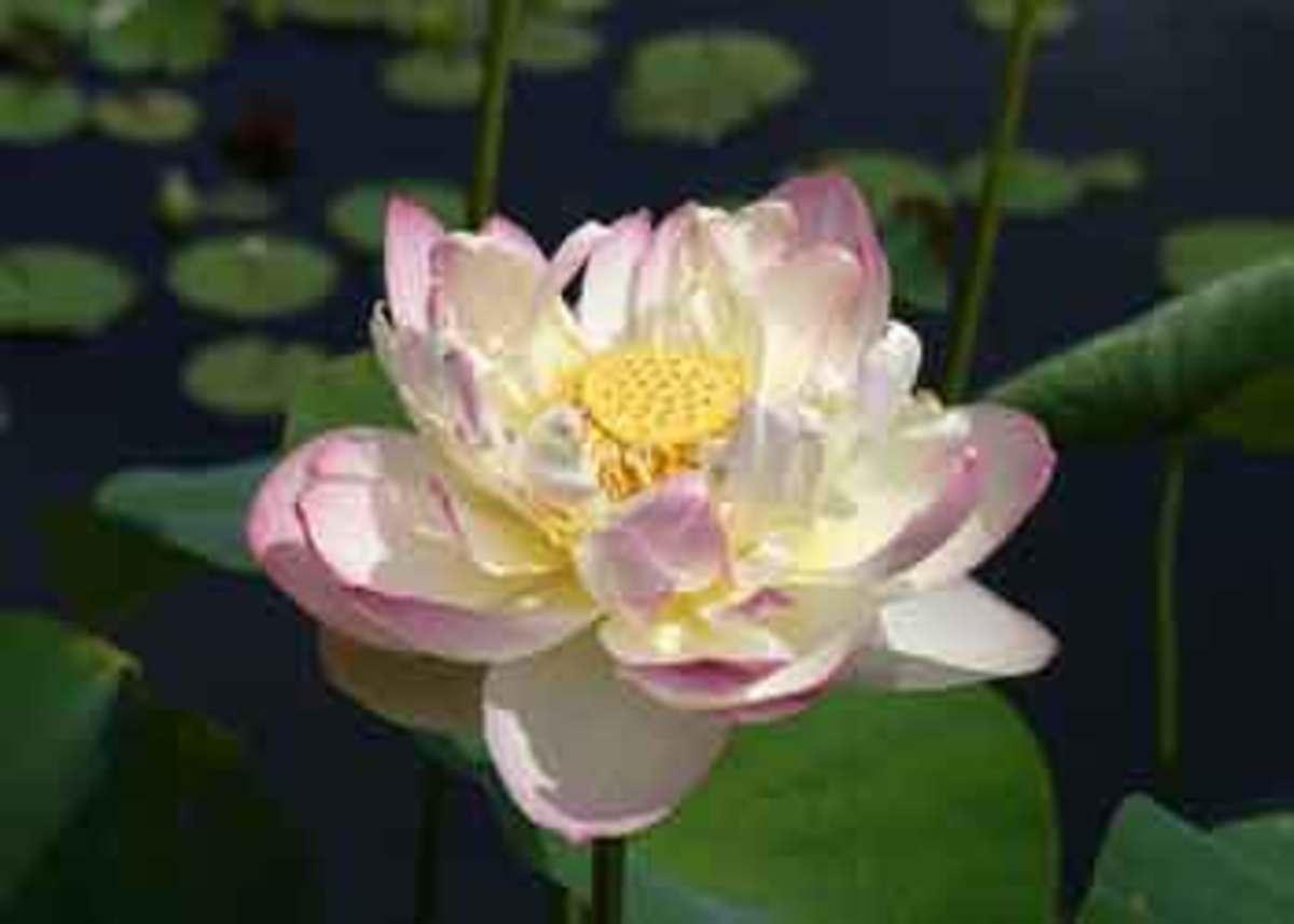 Mrs Perry D Slocum lotus