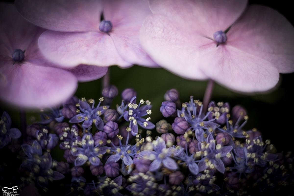 3.Hydrangea Horticulture Photo Contest
