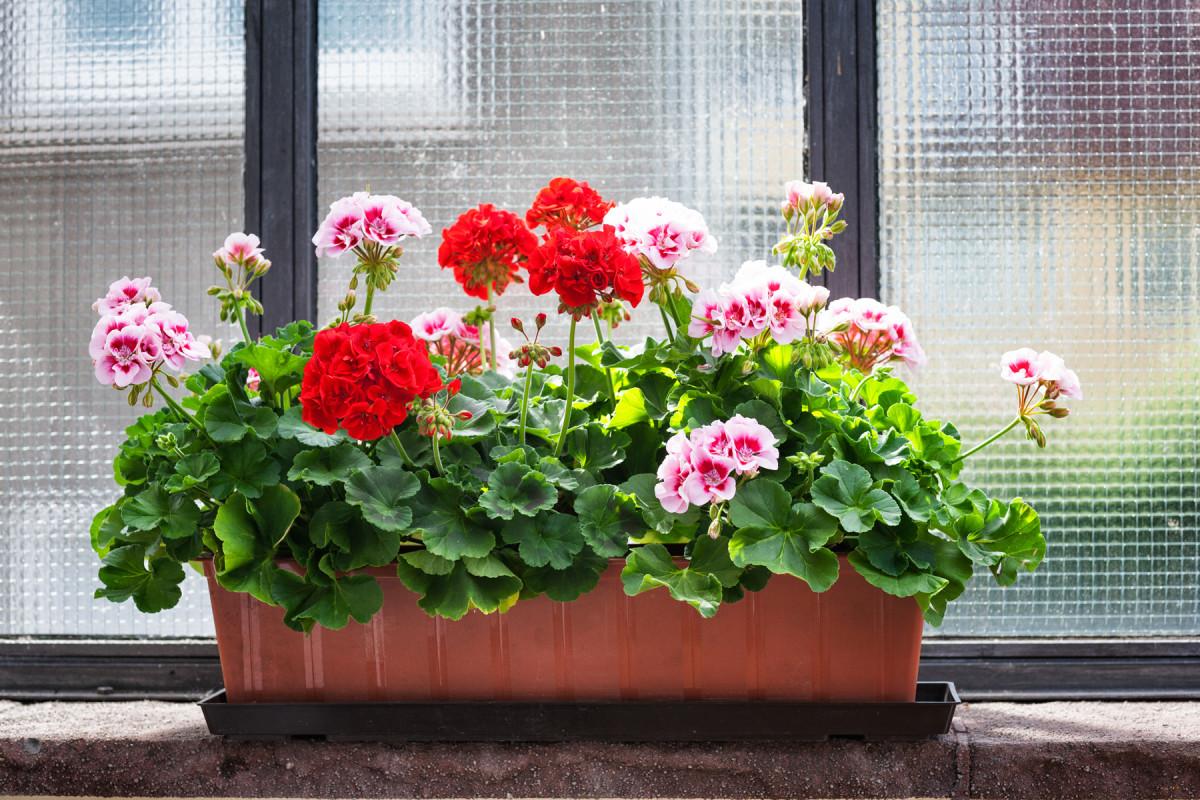 Geranions-Indoors-Horticulture-website