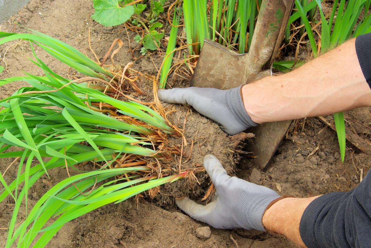 Dividing Plants Horticulture