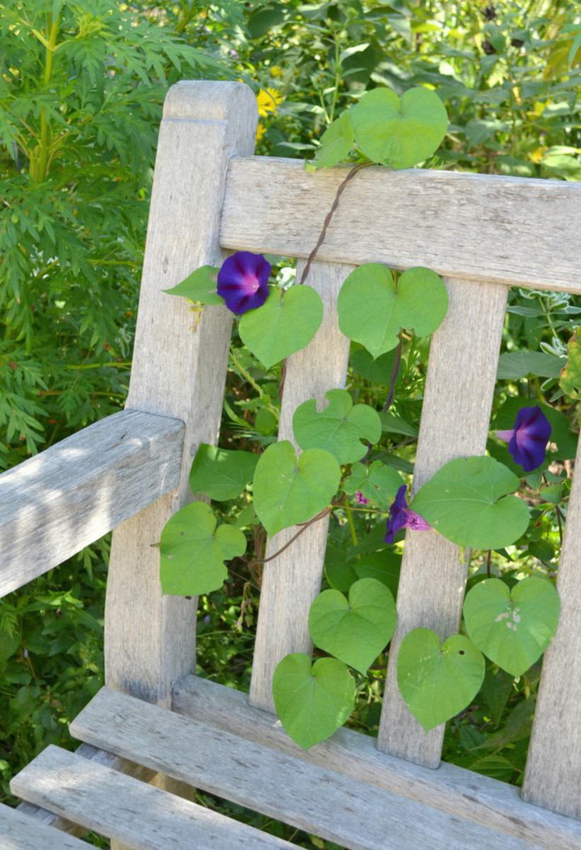 Horticulture magazine morning glory vine