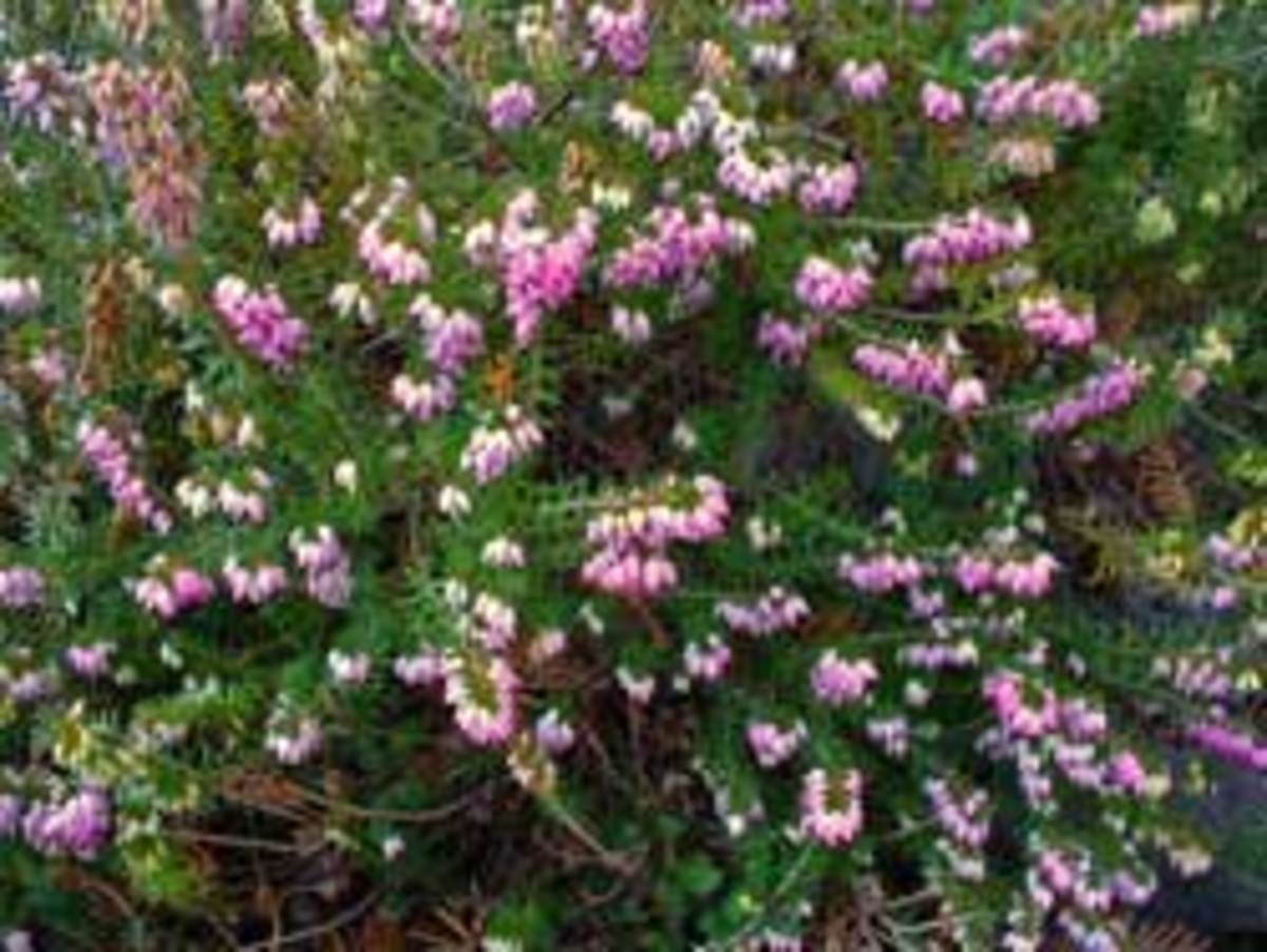 winter heath erica carnea