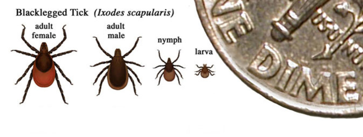 lyme disease ticks