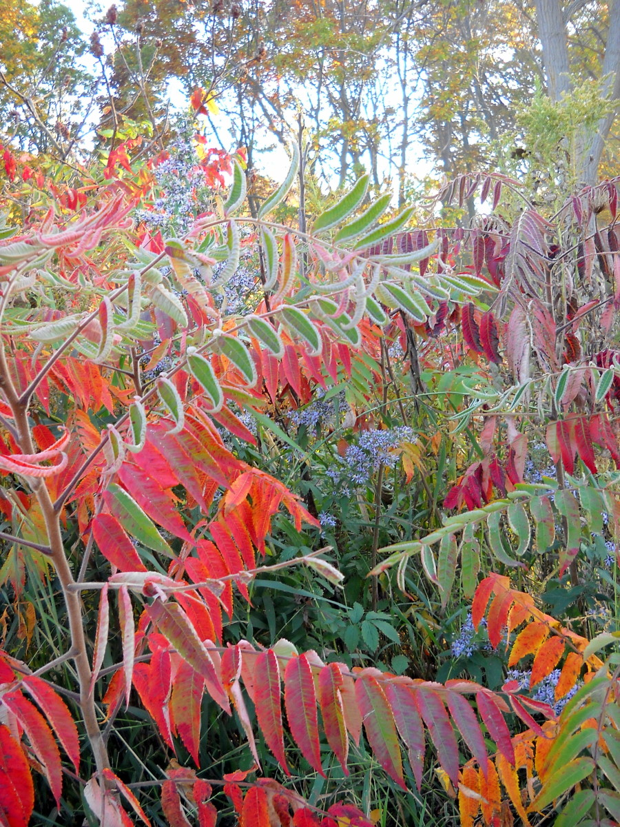 rhus typhina how to get rid of