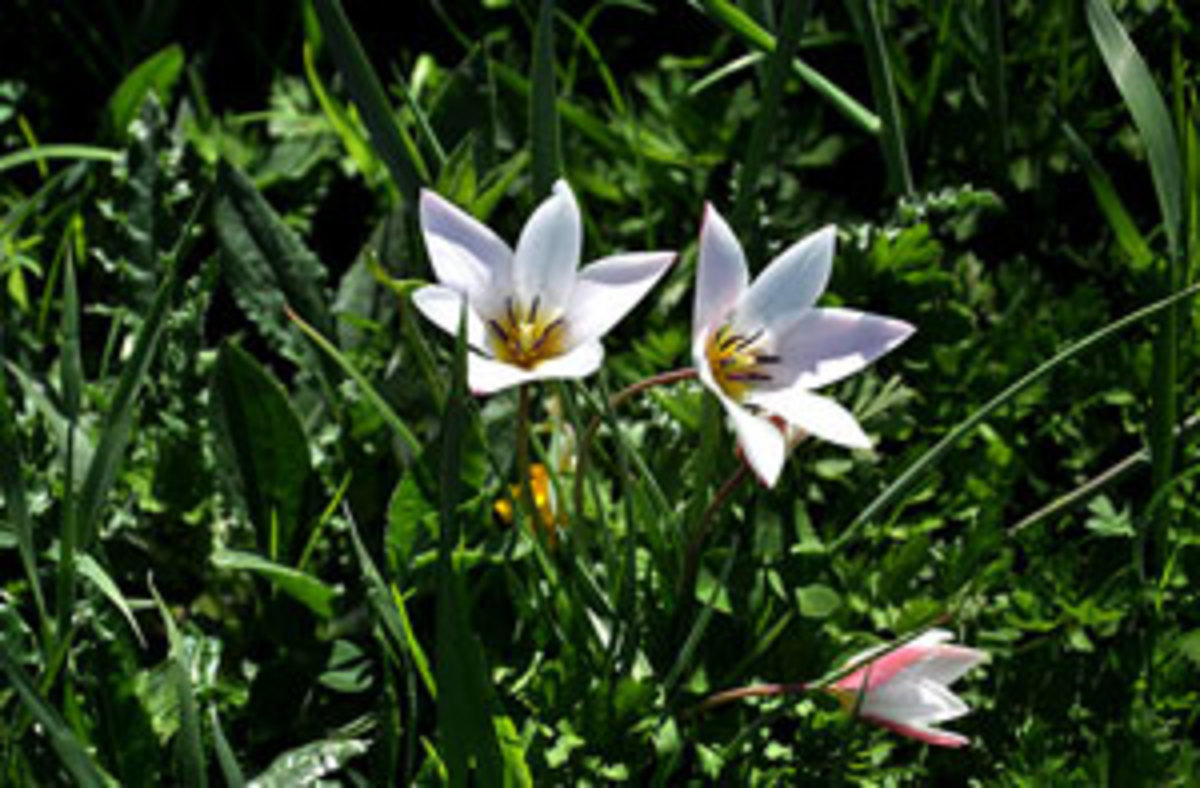 species tulip tulipa clusiana