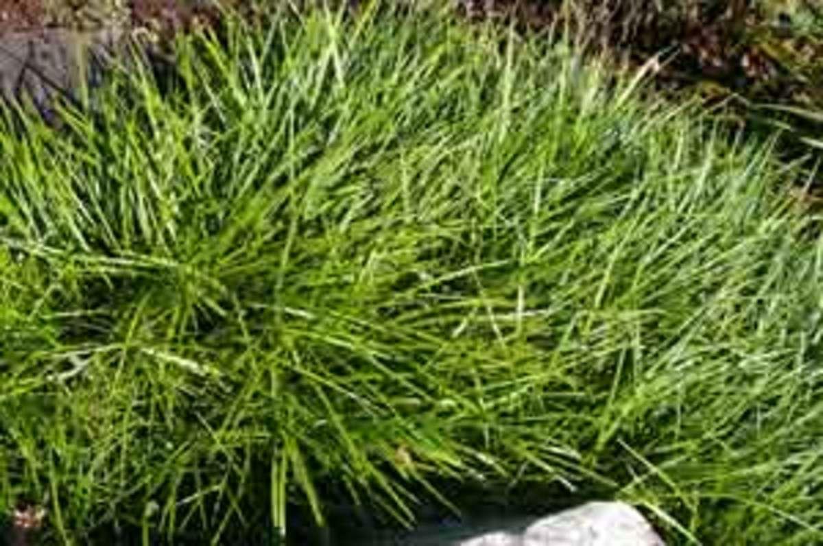 lily turf liriope