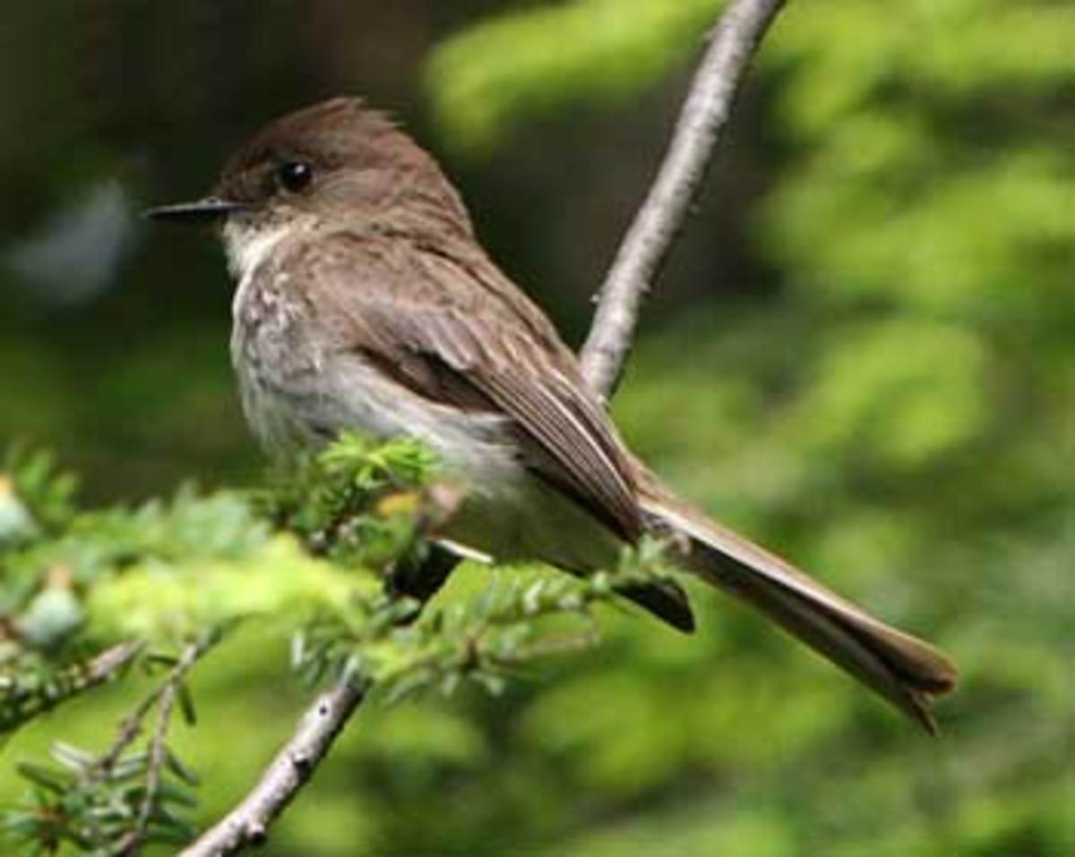 Nortious blueberry lover, the Eastern Phoebe