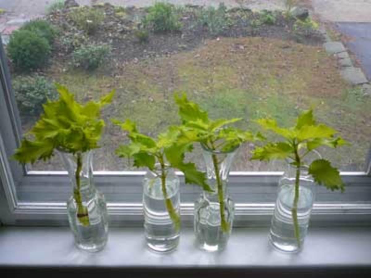 coleus cuttings