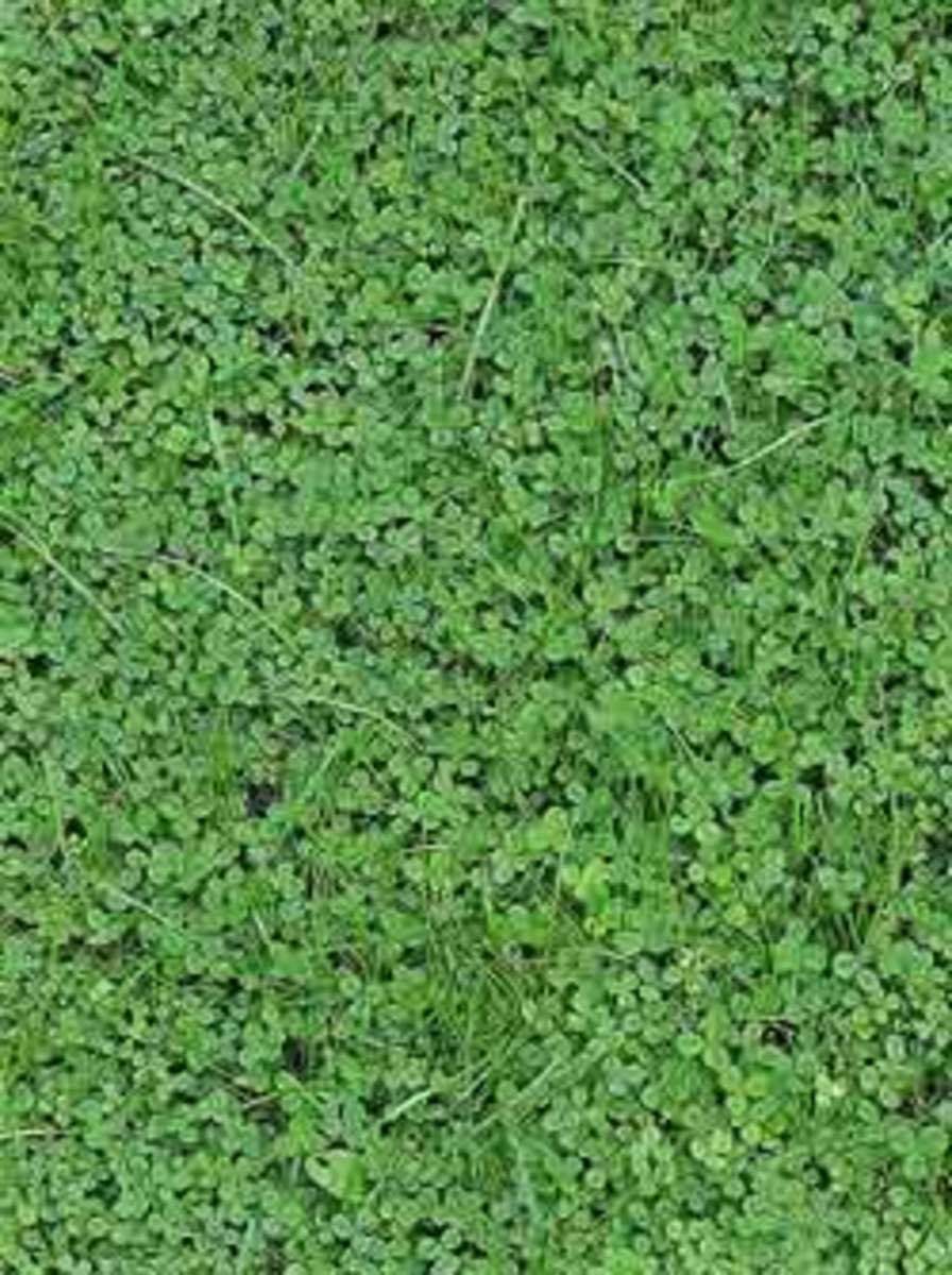 447px-Clover_(Trifolium_rep