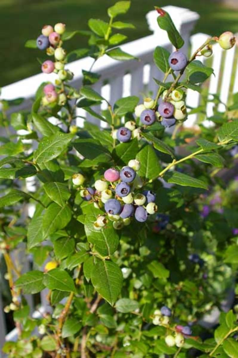 Ripening blueberry plant