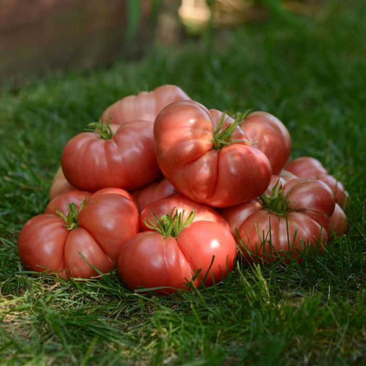 Jung Seed Summer Tomato