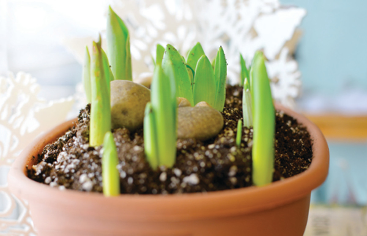 Spring bulbs are just peeking through the soil in a clay pot.