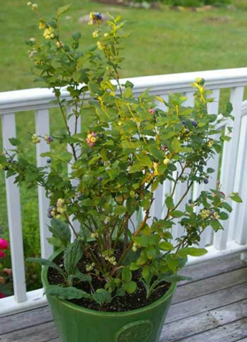 Container-grown blueberry bush