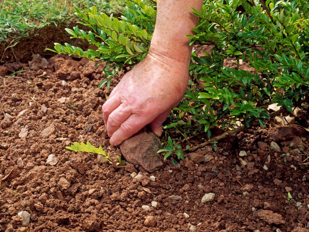 rock root
