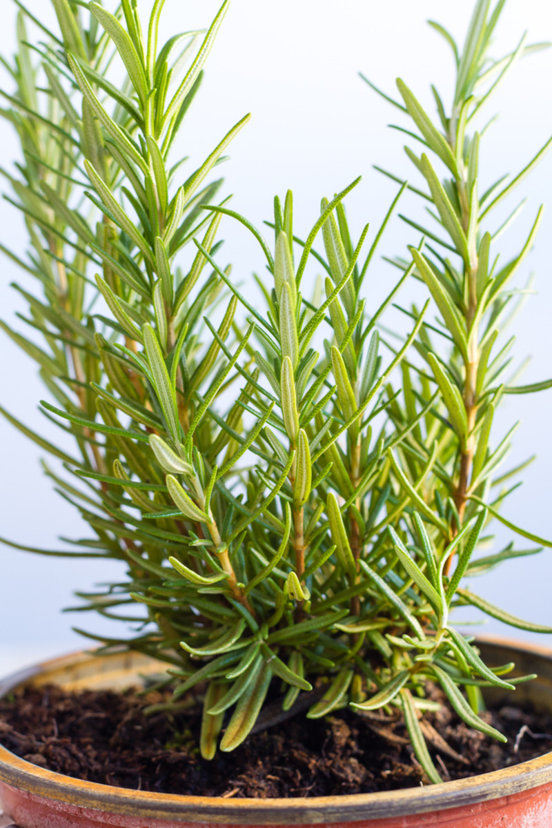 How To Grow Rosemary Indoors Horticulturehorticulture