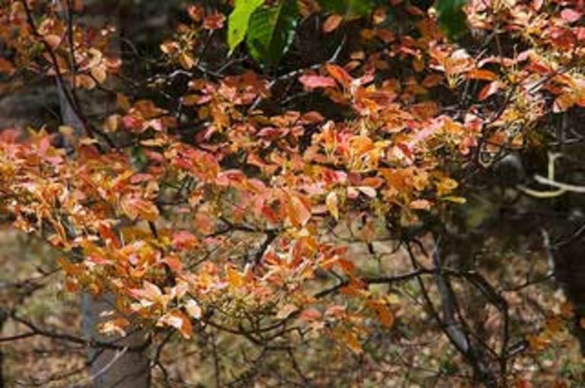 redvein enkianthus leaves
