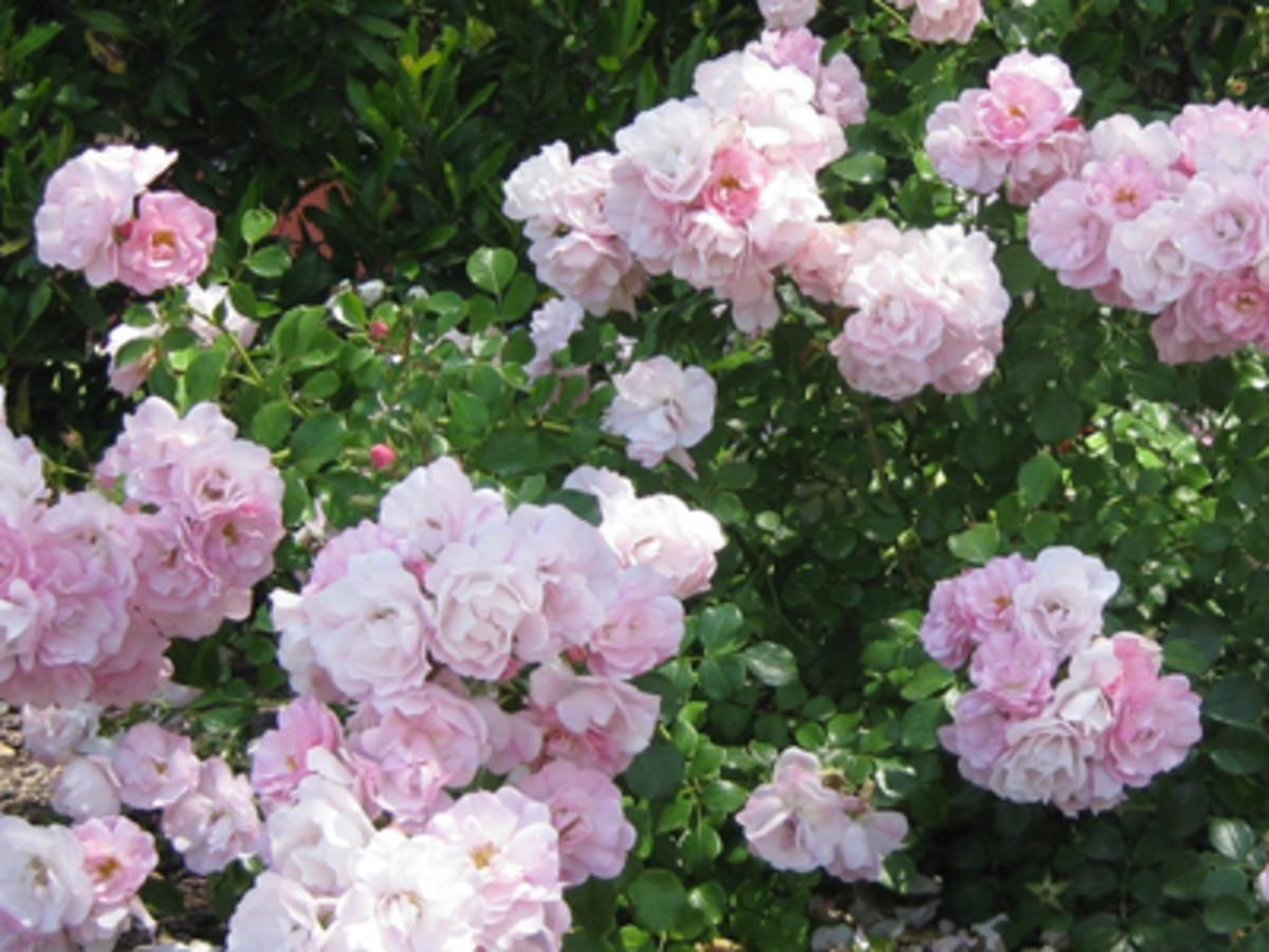 FlowerCarpetAppleblossomGroundcoverRose2
