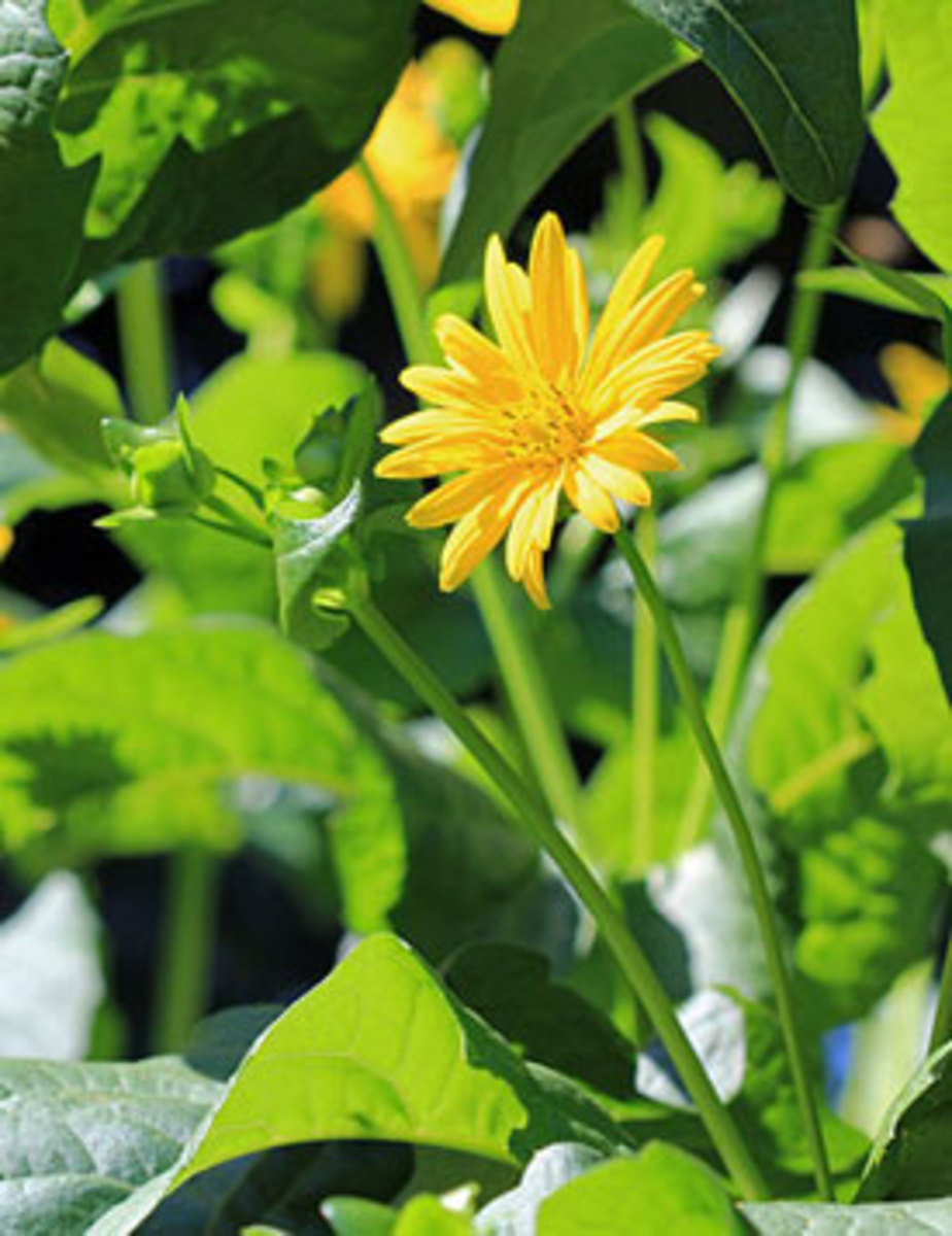 cup plant silphium