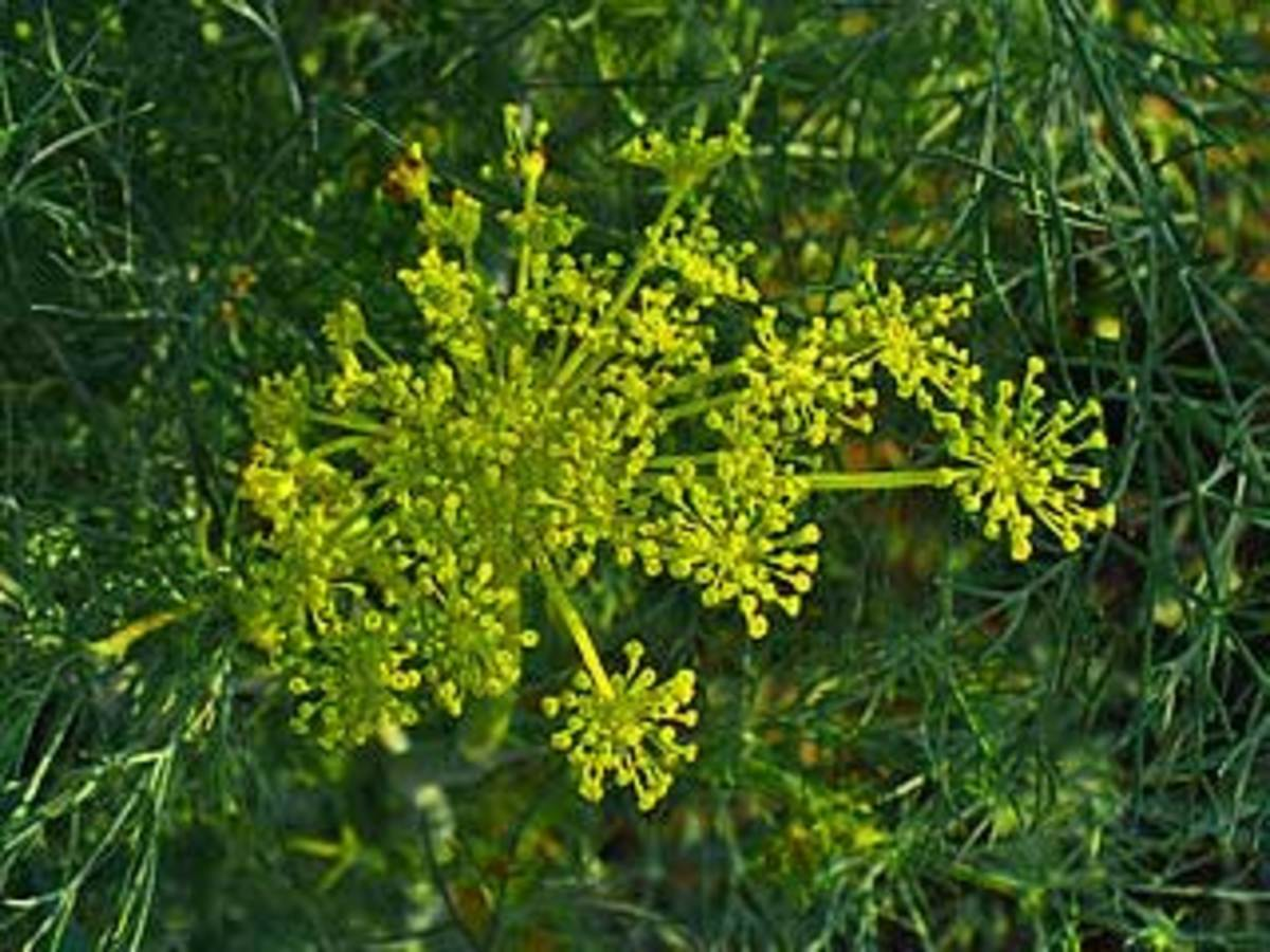 dill plant flowers
