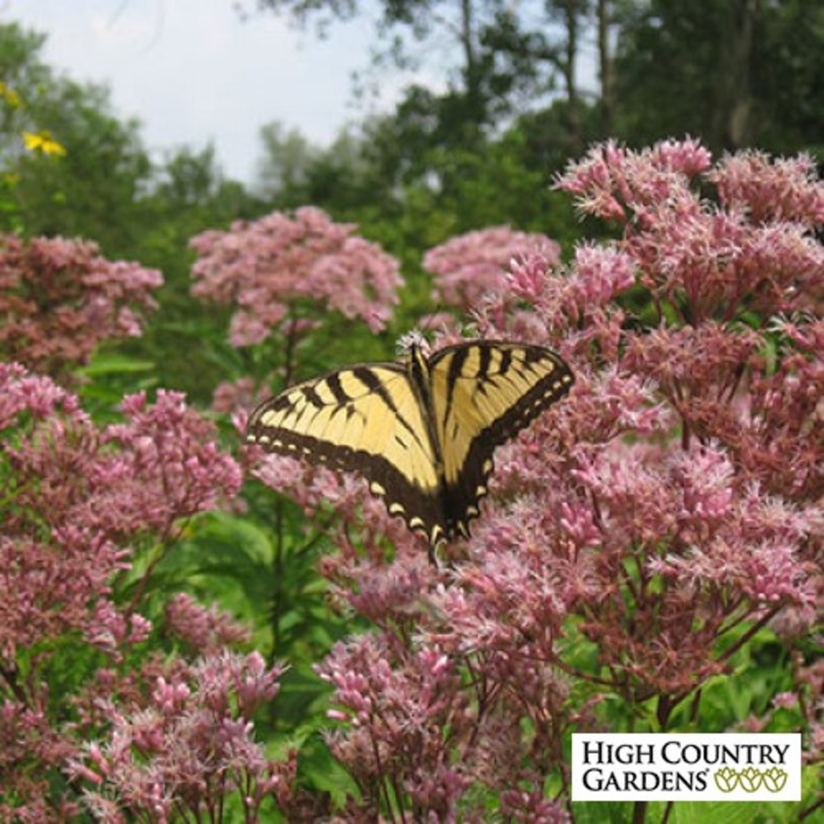 joe pye weed from High County Gardens