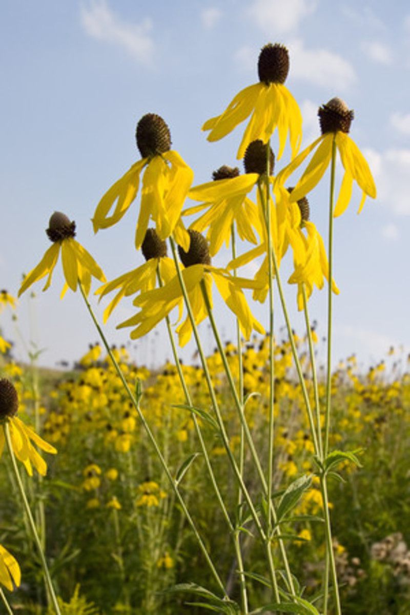 Yellow Coneflower from Prairie Nursery