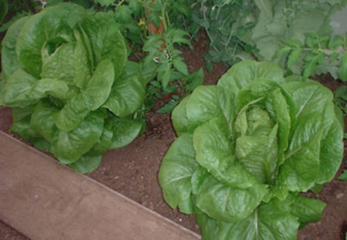 Successfully cultivating lettuce in the garden
