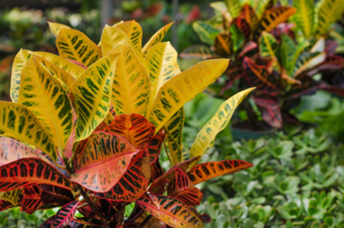 tropical plants croton