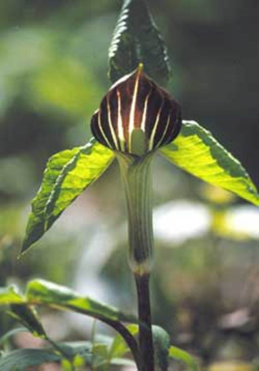 jack in the pulpit flower