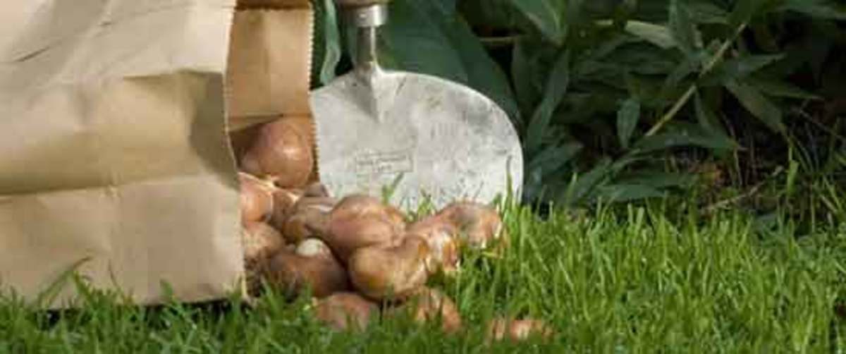 Bulb And Perennial Combos Horticulture