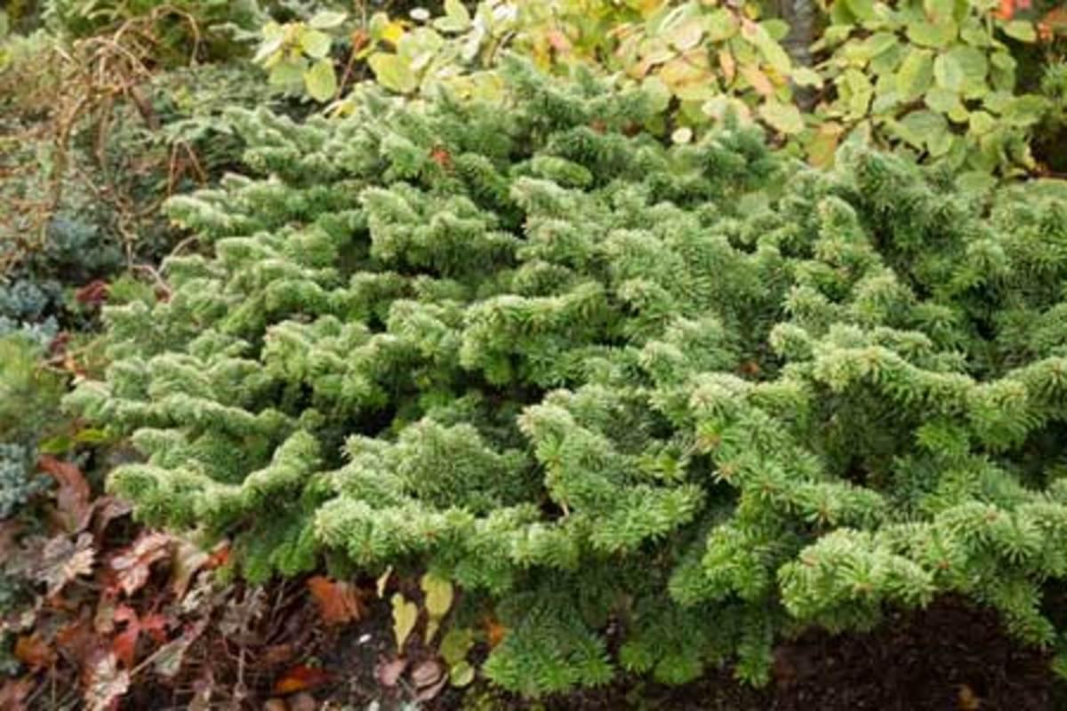 dwarf evergreen shrubs