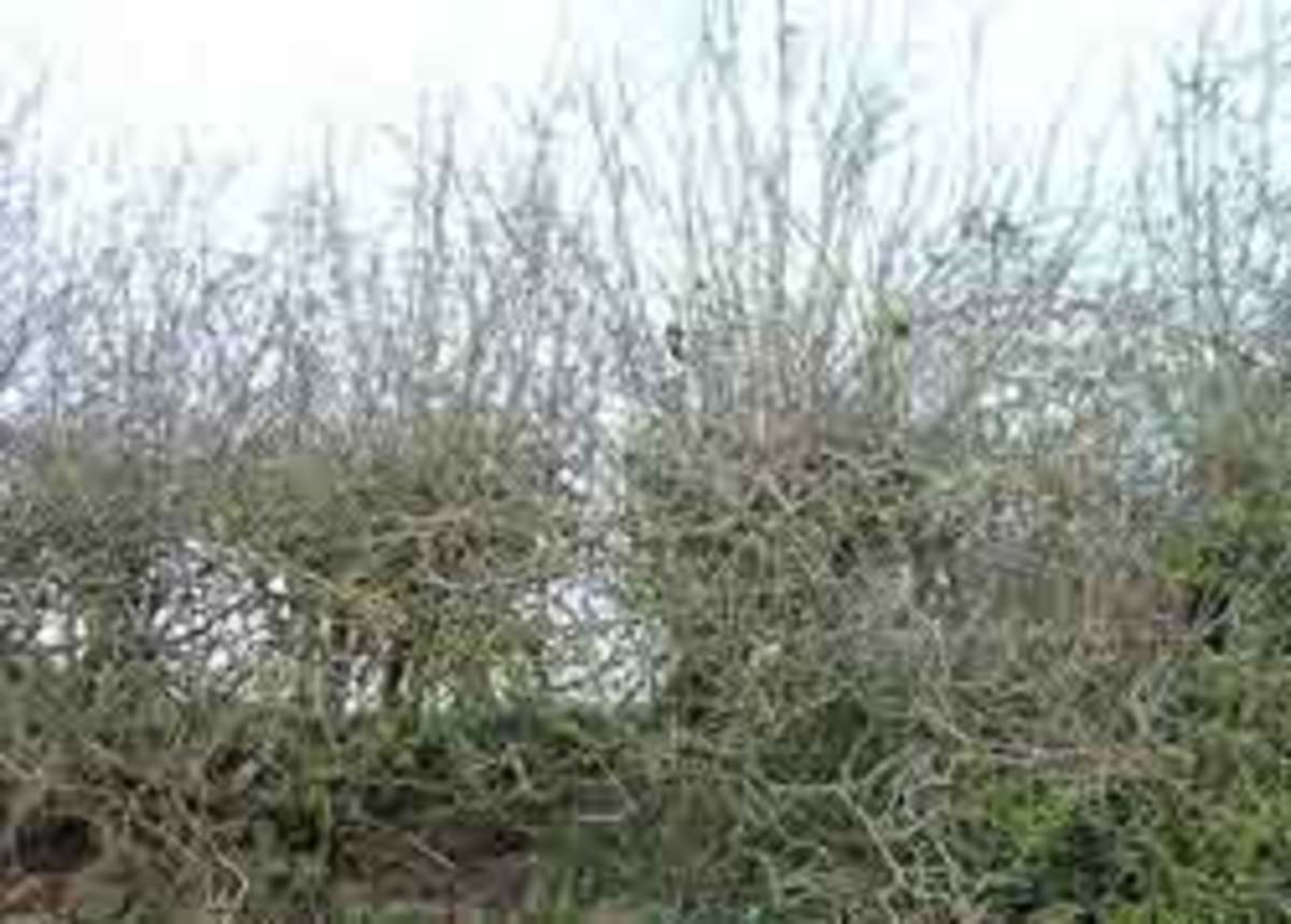 Deciduous hedge in winter