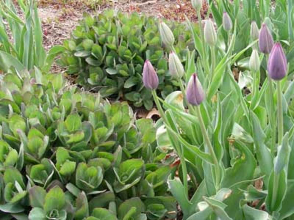 Tulip and Sedum