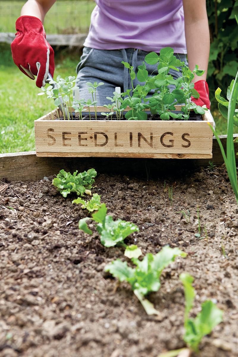 Gardener holding wooden seedling tray in vegetable garden.