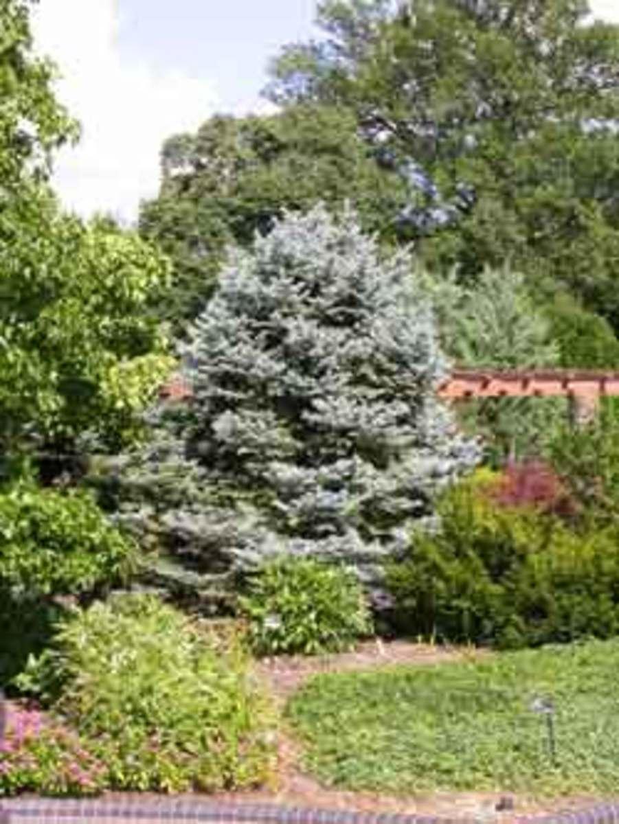 Fat Albert spruce