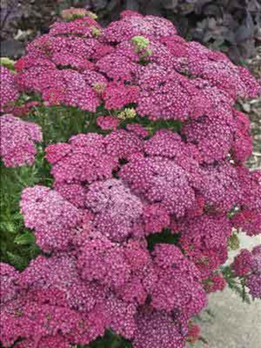 Yarrow Achillea millefolium Saucy Seduction