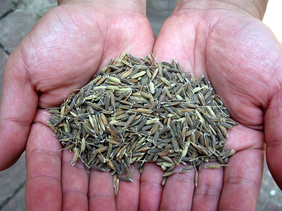 hyv seeds What is the difference between hyv seeds and traditional seeds hyv seeds are genetically improved seeds while traditional seeds are normal quality seeds.