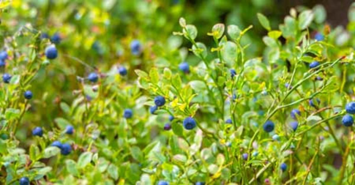 blueberry hedge