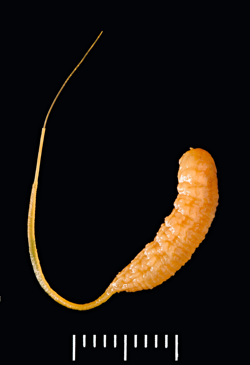 benefit of flies, eristalis tenax