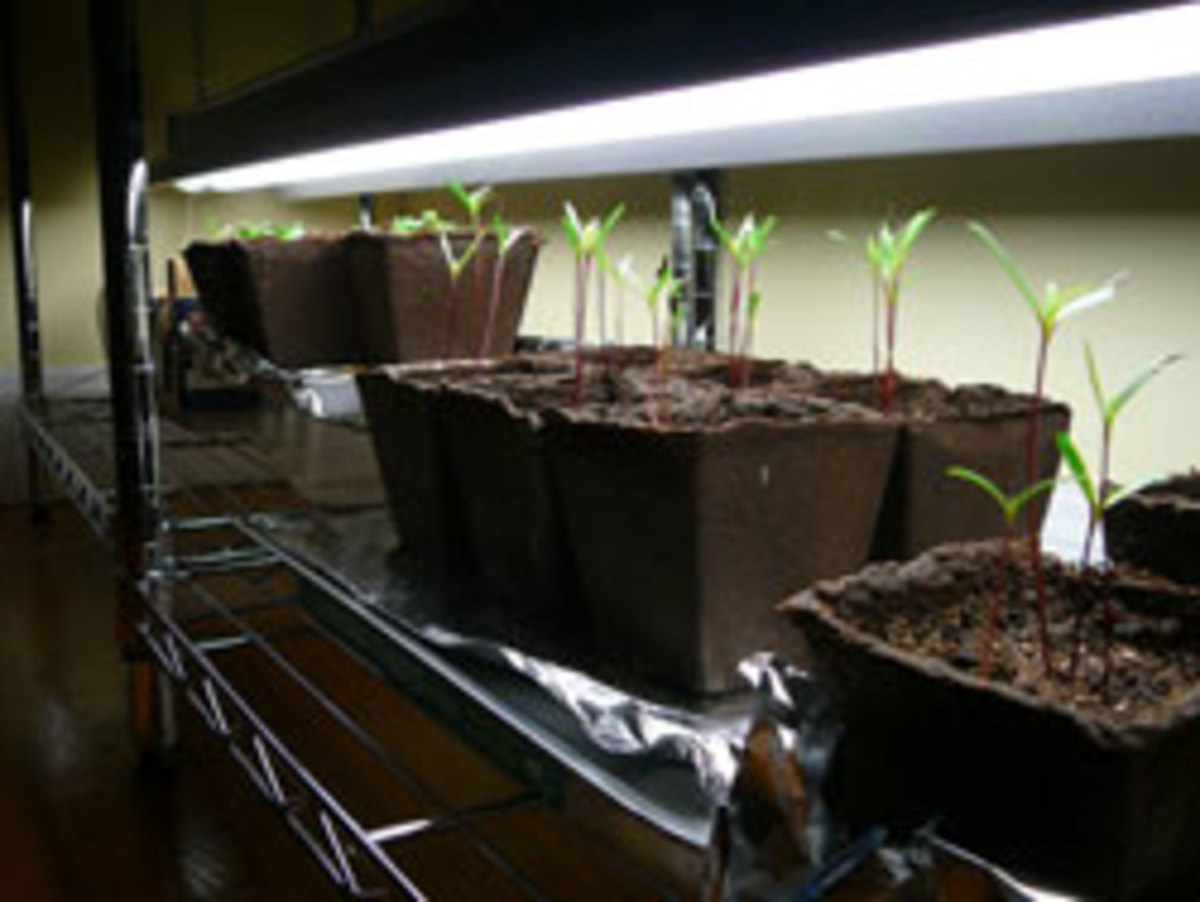 Light For Seedlings Is There Such Thing As Too Much Horticulture