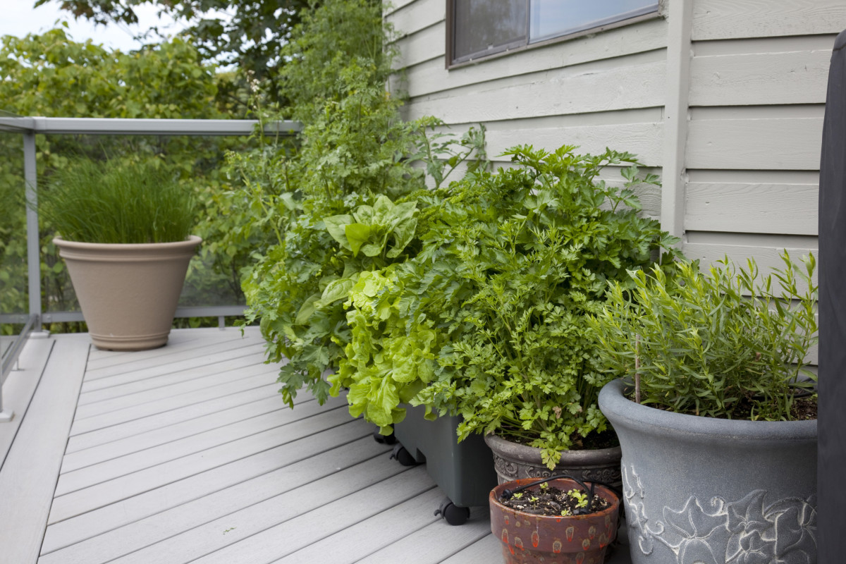 Basil is one of many plants that will keep unwanted insects away. You can also grow lavender or lemongrass. Photo credit: GettyImages