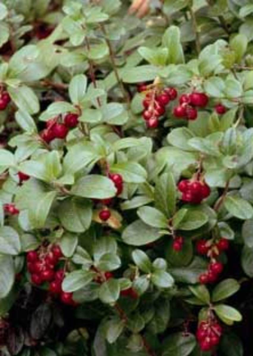 vaccinium red pearl lignonberry