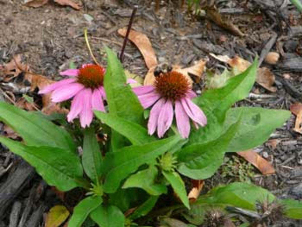 Echinacea Mistral