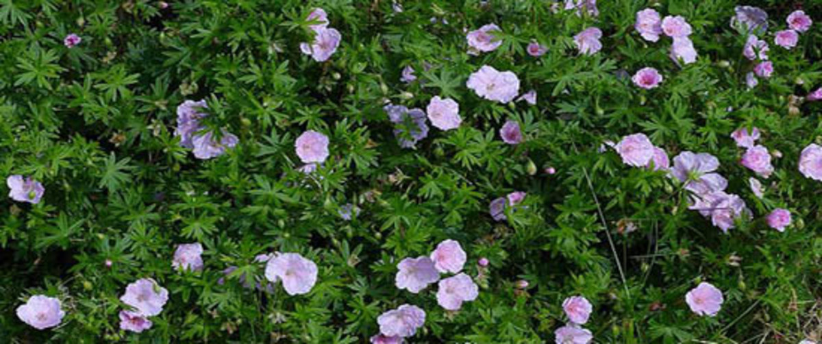 Rhizomatous perennials such as this Geranium sanguineum spread by underground roots.