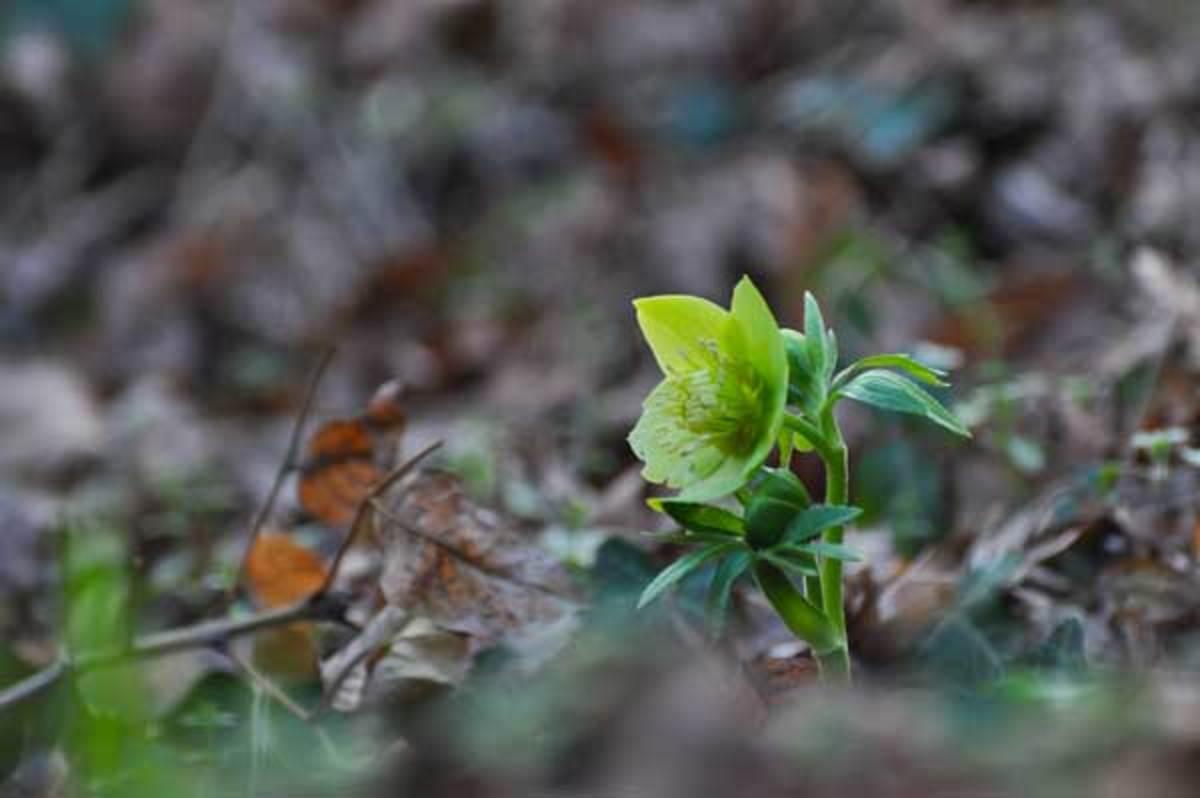 plants hellebore