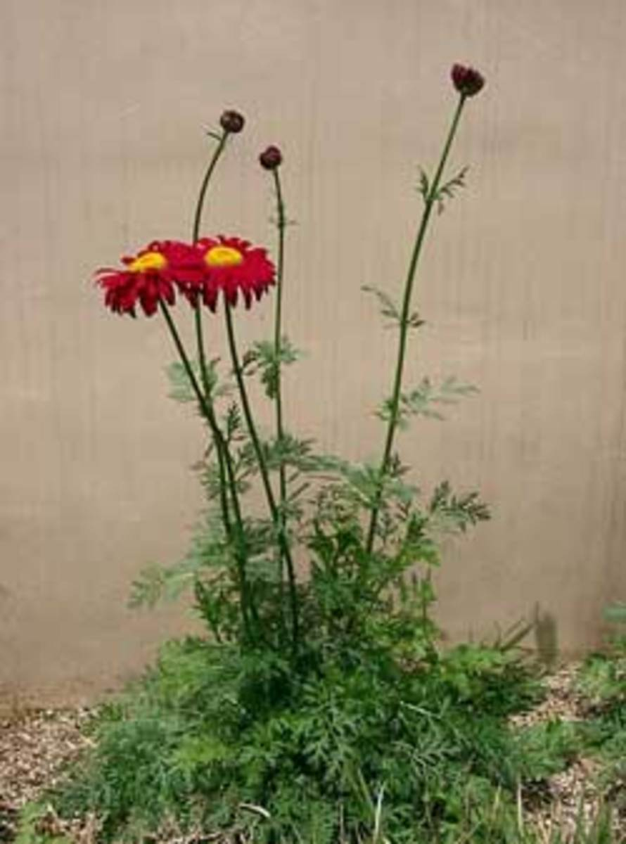 painted daisy tanacetum coccineum