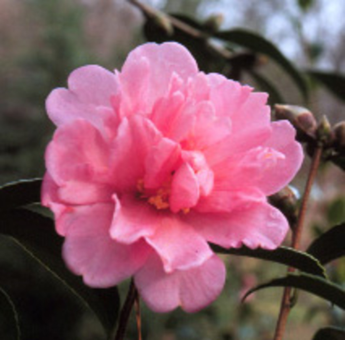 fall-blooming camellia