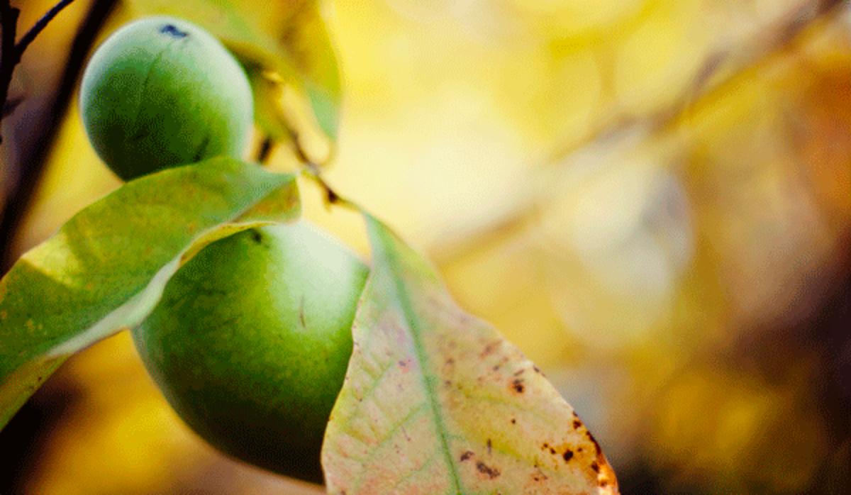 native fruits pawpaw