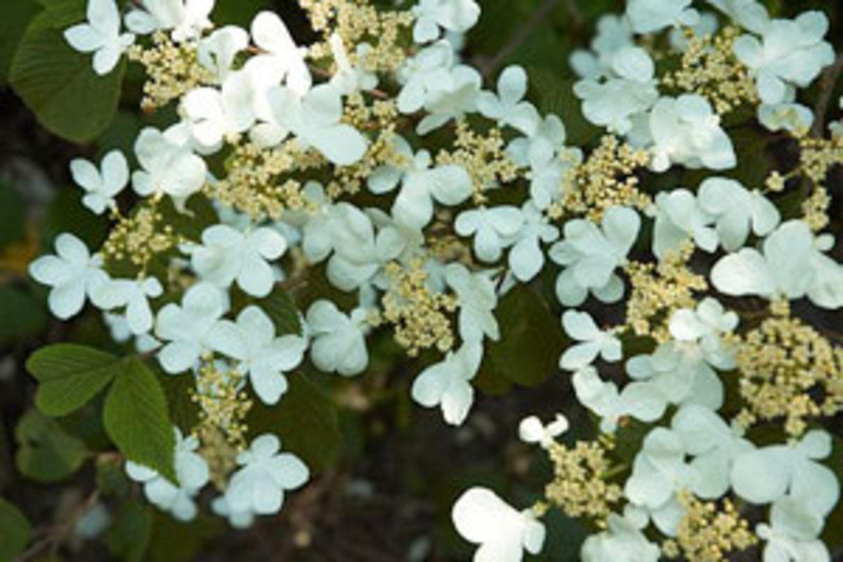 doublefile viburnum flowers