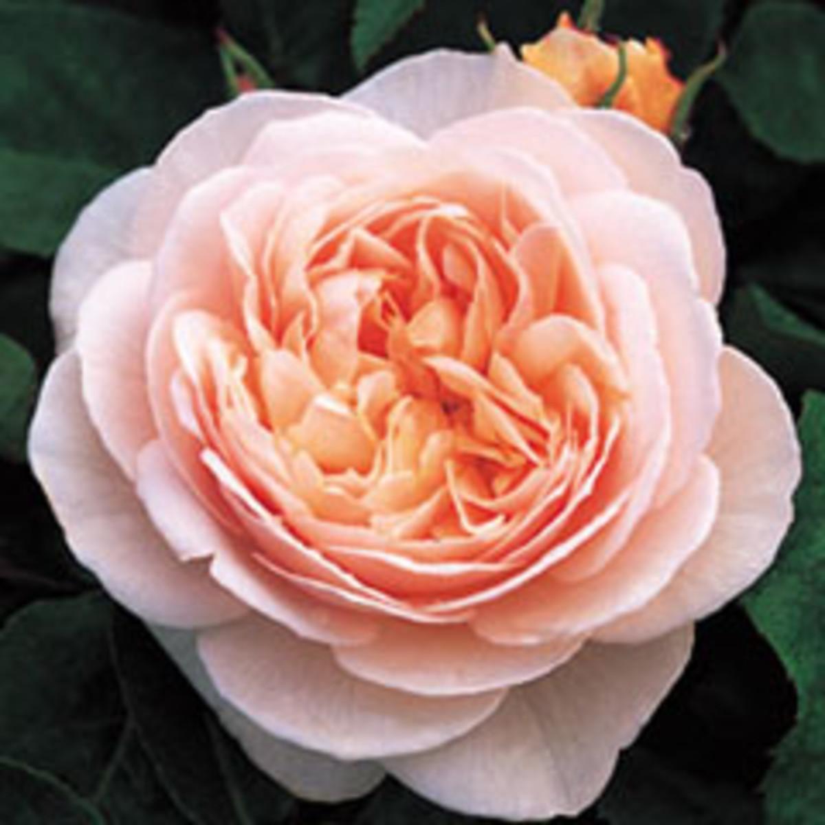 Sweet Juliet rose
